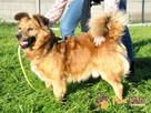 KELWINEK-nieduży, spokojny kudłaty psiak-5-6 lat-szukamyDOMU - 1