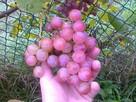 Sadzonki winorośli: deserowe i na wino z Jasła - 2