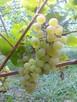 Sadzonki winorośli: deserowe i na wino z Jasła - 6