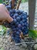 Sadzonki winorośli: deserowe i na wino z Jasła - 4