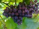 Sadzonki winorośli: deserowe i na wino z Jasła - 5