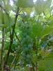 Sadzonki winorośli: deserowe i na wino z Jasła - 7