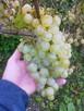 Sadzonki winorośli: deserowe i na wino z Jasła - 8