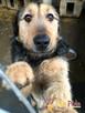 SALMONEK-spokojny, przyjazny,grzeczny młody psiak-szukamyDOMU - 2