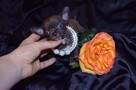 Chihuahua fci mini - 5