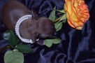 Chihuahua fci mini - 4