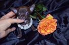 Chihuahua fci mini - 2