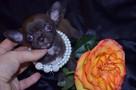 Chihuahua fci mini - 1