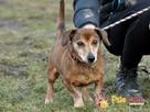 KAROLEK-starszy psiak w typie jamnika-spokojny, grzeczny,MIŁY - 1