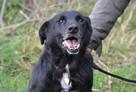 Sufler-czarny dostojny, piękny, mądry pies, 25kg - 3