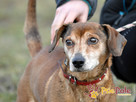 KAROLEK-starszy psiak w typie jamnika-spokojny, grzeczny,MIŁY - 2