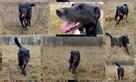 Sufler-czarny dostojny, piękny, mądry pies, 25kg - 4
