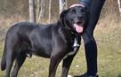 Sufler-czarny dostojny, piękny, mądry pies, 25kg - 1