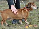 KAROLEK-starszy psiak w typie jamnika-spokojny, grzeczny,MIŁY - 7