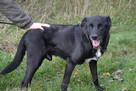 Sufler-czarny dostojny, piękny, mądry pies, 25kg - 6