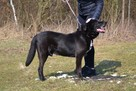 Sufler-czarny dostojny, piękny, mądry pies, 25kg - 7