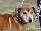 KAROLEK-starszy psiak w typie jamnika-spokojny, grzeczny,MIŁY - 6