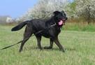 Sufler-czarny dostojny, piękny, mądry pies, 25kg - 5