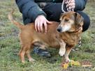 KAROLEK-starszy psiak w typie jamnika-spokojny, grzeczny,MIŁY - 3