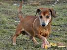 KAROLEK-starszy psiak w typie jamnika-spokojny, grzeczny,MIŁY - 8