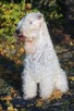 Irish Soft Coated Wheaten Terrier- terier pszeniczny- MIOTY - 4