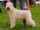 Irish Soft Coated Wheaten Terrier- terier pszeniczny- MIOTY - 1