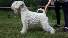 Irish Soft Coated Wheaten Terrier- terier pszeniczny- MIOTY - 2