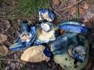 Grzybnia Biologiczna Piaskowiec modrzak - 2