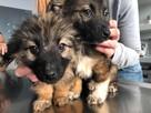 Nala & Saszka - szczeniaki szukają domu