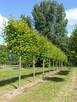 Drzewa Liściaste ozdobne klony lipy brzozy jarzębiny Palmety - 2