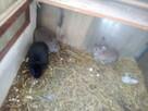 Sprzedam młode króliki angielski baran, różne kolory