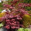 Drzewa Liściaste ozdobne klony lipy brzozy jarzębiny Palmety - 16