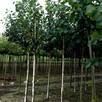 Drzewa Liściaste ozdobne klony lipy brzozy jarzębiny Palmety - 15