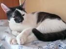 Kacperek - uroczy kociak poleca się do adopcji