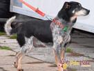 HAZARDZIK-starszy, niewielki psiak po przejściach szuka dom - 16