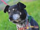 HAZARDZIK-starszy, niewielki psiak po przejściach szuka dom - 5