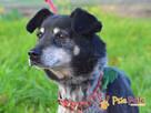 HAZARDZIK-starszy, niewielki psiak po przejściach szuka dom - 3