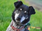 HAZARDZIK-starszy, niewielki psiak po przejściach szuka dom - 6