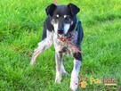 HAZARDZIK-starszy, niewielki psiak po przejściach szuka dom - 2