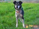 HAZARDZIK-starszy, niewielki psiak po przejściach szuka dom - 7