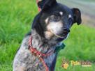 HAZARDZIK-starszy, niewielki psiak po przejściach szuka dom - 9