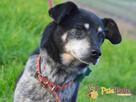 HAZARDZIK-starszy, niewielki psiak po przejściach szuka dom - 8