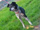 HAZARDZIK-starszy, niewielki psiak po przejściach szuka dom - 4