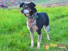 HAZARDZIK-starszy, niewielki psiak po przejściach szuka dom - 10