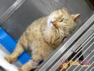 MARCYŚ-fantastyczny bury kotek szuka troskliwego domu, adopc