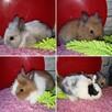 króliki króliczki karzełki gładkowłose ,miniaturki - 6