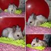 króliki króliczki karzełki gładkowłose ,miniaturki - 5