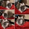 króliki króliczki karzełki teddy, miniaturki - 2