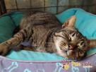 KATSI-śliczna pręgowana koteczka szuka kochającego domu, Adop - 5