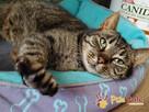 KATSI-śliczna pręgowana koteczka szuka kochającego domu, Adop - 1